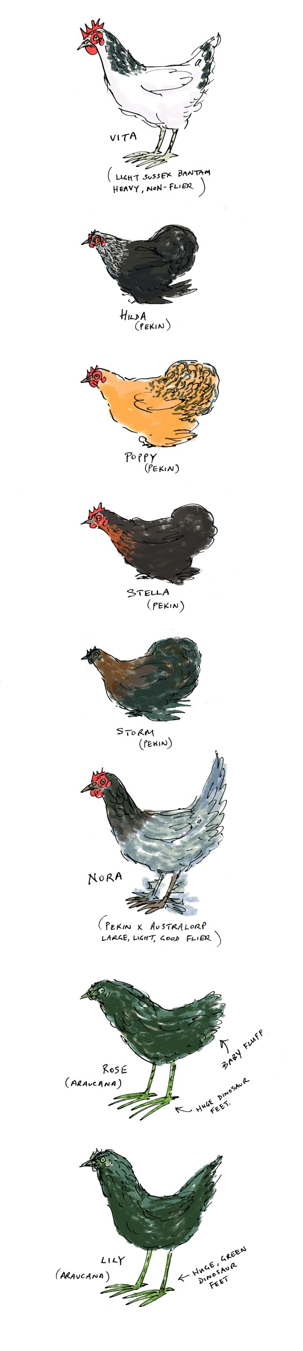 chicken pecking order colour flat