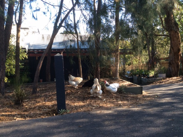 chicken conference in driveway.jpg